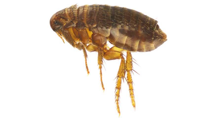 Ask a Dermatologist: Fleas